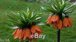 3 Fritillaria Rubra Maxima(red)bulbs(crown Imperial Lily)spring Garden Perennial