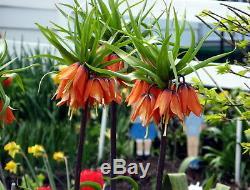 In Stock. 3 Fritillaria Aurora(orange)bulbs(crown Imperial Lily)spring Perennial