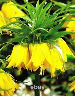In Stock. 3 Fritillaria Lutea Bulbs (crown Imperial Lily)garden Spring Perennial