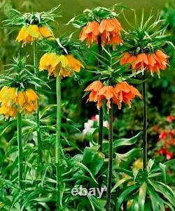 In Stock. 3 Fritillaria Mixed Bulbs (crown Imperial Lily) Bulbs Spring Perennial